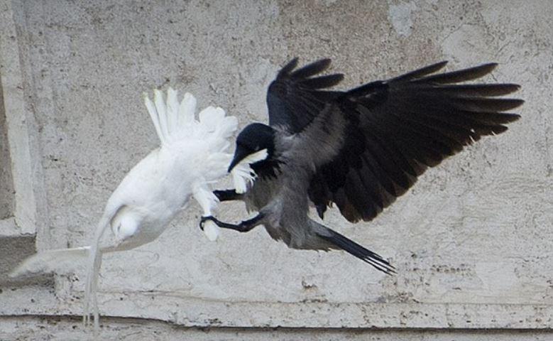 2014 Vatican_crow attacks dove