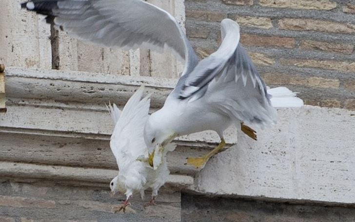 2014 Vatican_gull attacks dove
